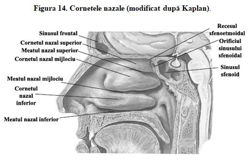Figura 14. Cornetele nazale (modificat după Kaplan).