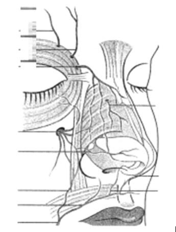 Figura 11. Vascularizaţia arterială a piramidei nazale A. supraorbitară; A. supratrohleară; A. dorsum nazal; A. etmoidală ant. (ram.ext);    A. infraorbitară; A. Facială (Rm.angulară; Rm.buzei superiore)