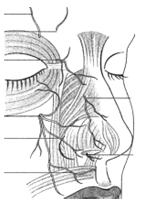Figura 12. Inervaţia senzitivă a piramidei nazale N.supraorbitar; N.supratrohlear; N.infratrohlear; N.etmoidal ant. (rm.ext.); N.infraorbitar; N.nazopalatin.