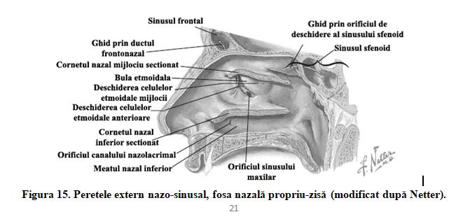 Figura 15. Peretele extern nazo-sinusal, fosa nazală propriu-zisă (modificat după Netter).