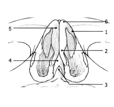 Figura 8. Scheletul piramidei nazale – vedere inferioară.     1. Ram lateral cartilaj alar;      2-5. Ram medial cartilaj alar;      3. Spina nazală anterioară;      4. Sept cartilaginos;      6. Domul cartilajului alar.